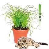 Yukio Samenhaus - 20pcs Katzengras Ungiftige Zimmerpflanzen für Katzen Zyperngras Cyperus zumula pflegeleicht Ziergras immergrün Blumensamen winterhart mehrjährig