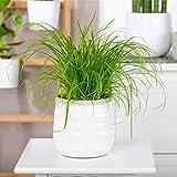 Qulista Samenhaus - Rarität 20pcs Katzengras Zimmerpflanzen Pflegeleicht Blumensamen winterhart mehrjärhig
