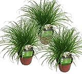 Echtes Katzengras (Cyperus alternifolius 'Zumula') (3)