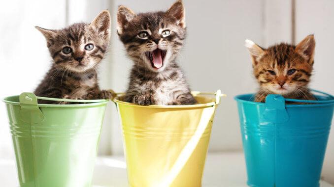 3 Kätzchen sitzen im Eimer und miauen