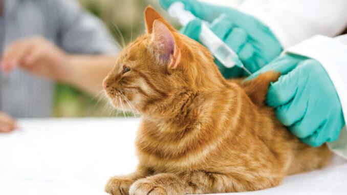 Katze mit Nierenleiden bekommt Spritze