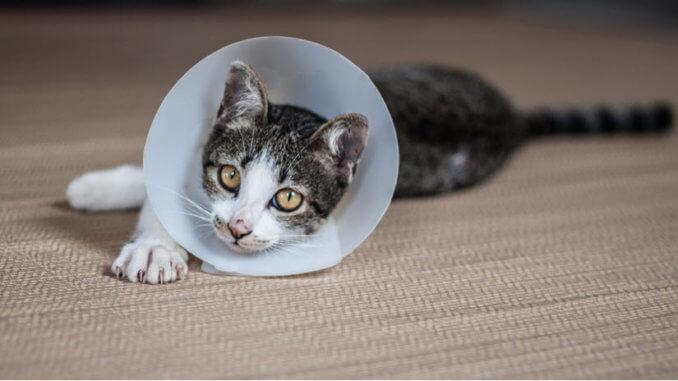 Katze mit Halskrause wegen Katzenflohmittel