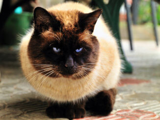 Dicke Katze mit Arthrose