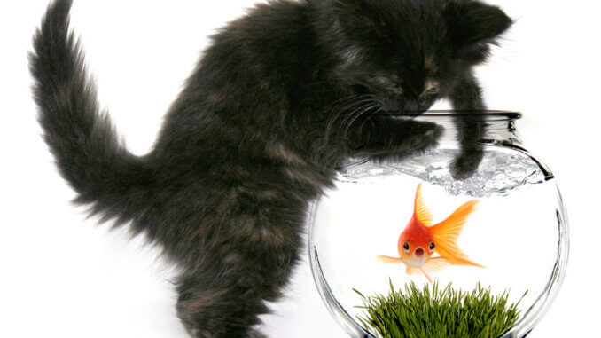 Katze angelt vor Hunger Goldfisch, weil Futterautomat fehlt