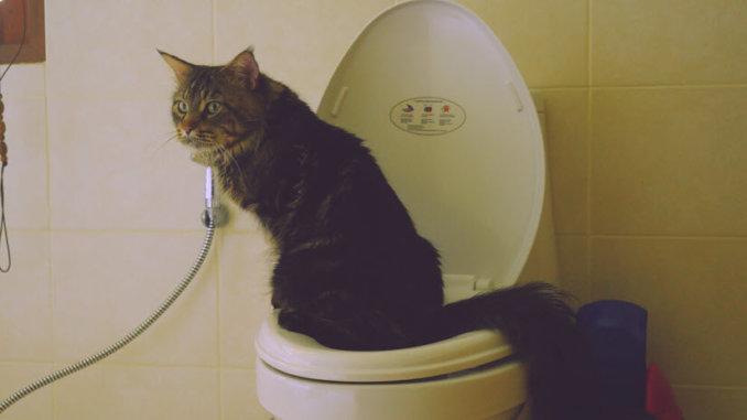 Katze auf Toilette und sucht ihr Katzenklo mit Sieb
