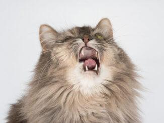 Katze niest und hat Mundgeruch