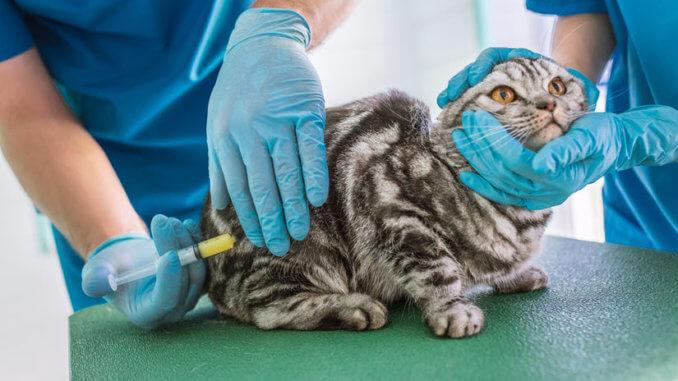 Katze bekommt eine Reiseimpfung
