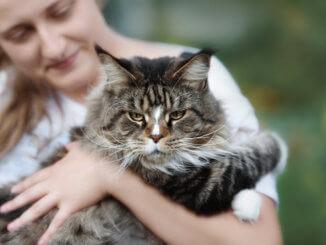 Maine Coone Katze
