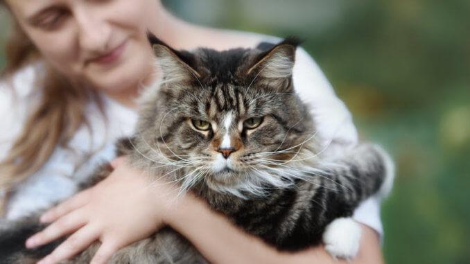 Die Maine Coon Katze Katzenwelt Net
