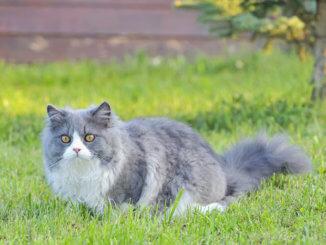 Ragdoll Katze im Garten
