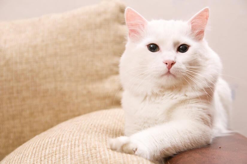 Türkische Angora Katze