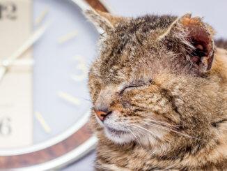Alte Katze schläft vor einer Uhr