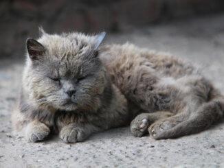 Alte graue Katze liegt auf der Straße