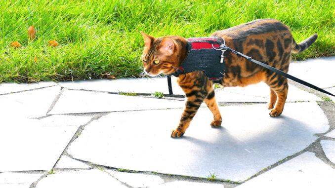 Bengal Katze mit Katzengeschirr an der Leine