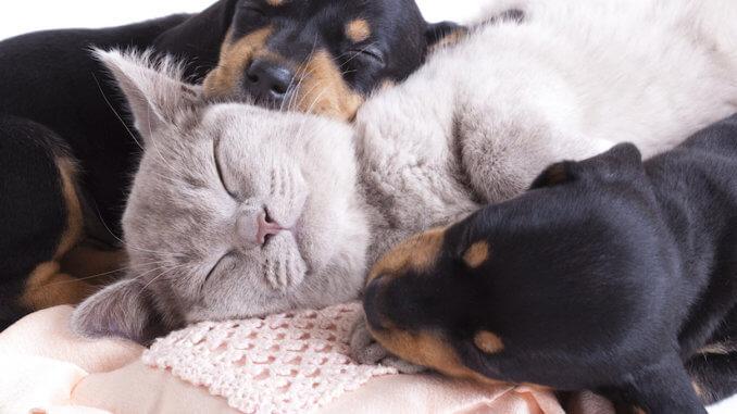 Britisch Kurzhaar Kitten mit zwei Dachshund Welpen auf einer Decke
