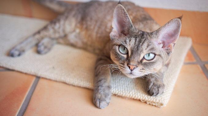 Devon Rex Katze auf einem Kratzbrett