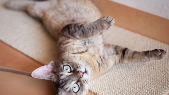 Devon Rex Katze liegt auf Ihrem Kratzbrett