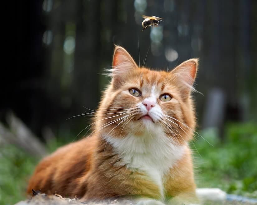 Freigänger Katze beobachtet eine Hummel