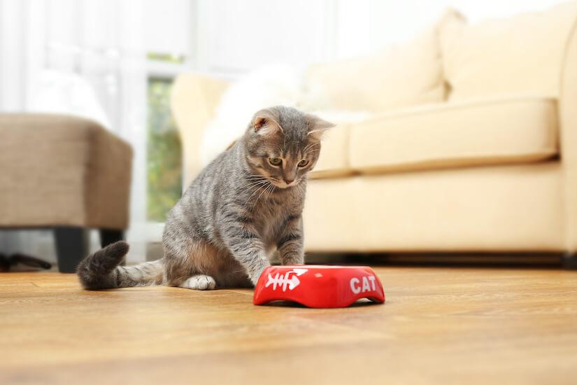 Graue Katze sitzt vor ihrem roten Futternapf im Wohnzimmer