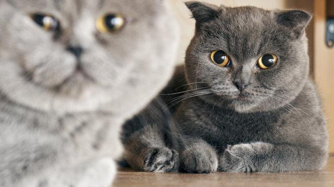 Graue Katze und Kater auf dem Boden