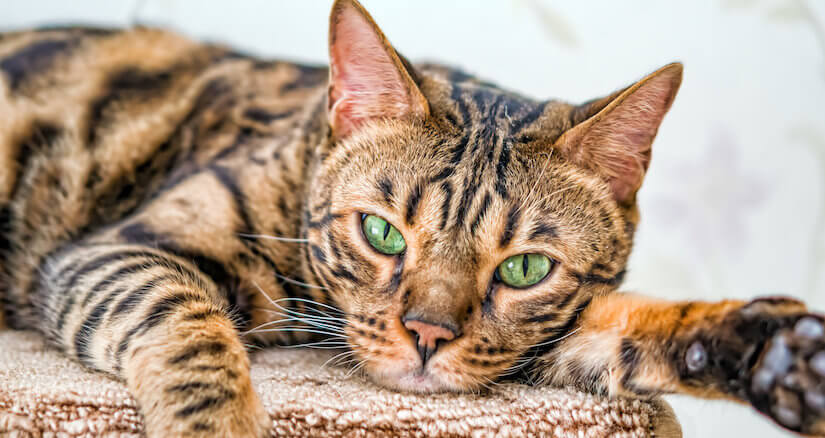 Hübsche Bengal Katze auf dem Teppich