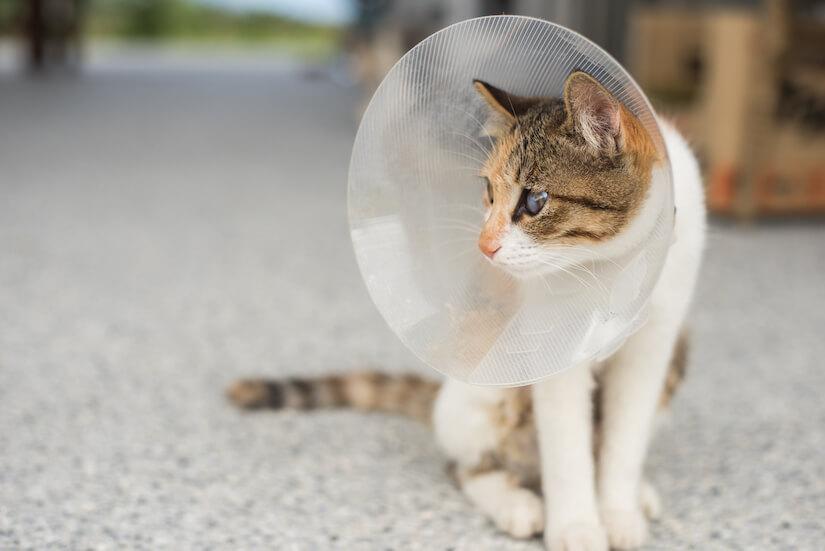 Kätzchen mit Halskrause