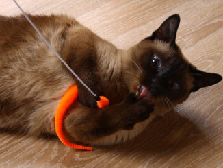 Katze beschäftigt sich mit einer Katzenangel