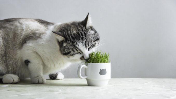 Katze frisst Katzengras aus einem Becher