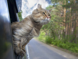 Katze guckt aus dem Autofenster während der Fahrt