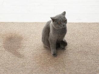 Katze hat auf den Teppich gepinkelt
