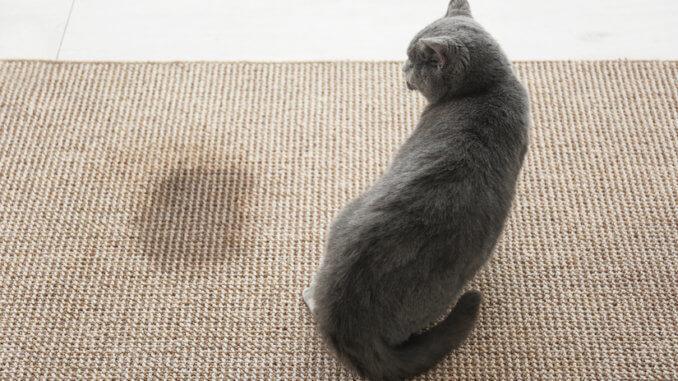 Katze hat auf den Teppich uriniert