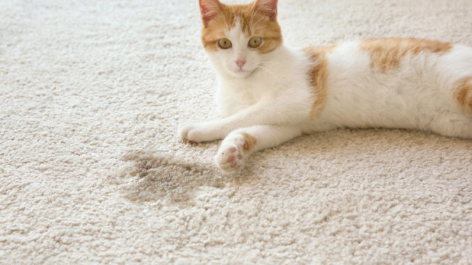 Katze liegt auf dem Teppich neben Urinfleck