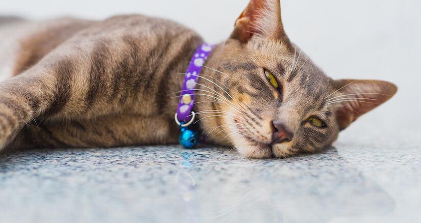Katze mit schönem Halsband auf dem Boden