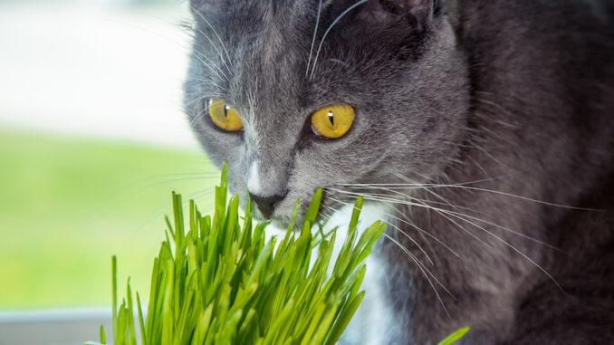 Katze schnuppert an Katzengras