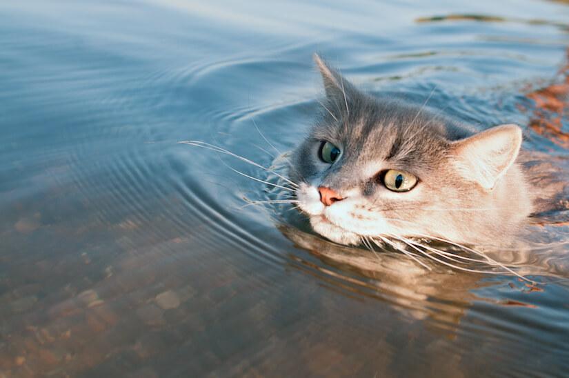 Katze schwimmt in einem See