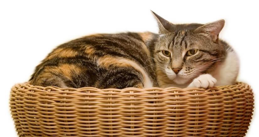 Katze sitzt in Ihrem Weidekörbchen