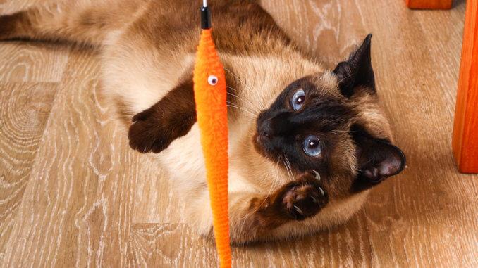 Katze spielt mit Katzenangel