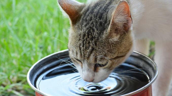 Katze trinkt Wasser aus einem Eimer