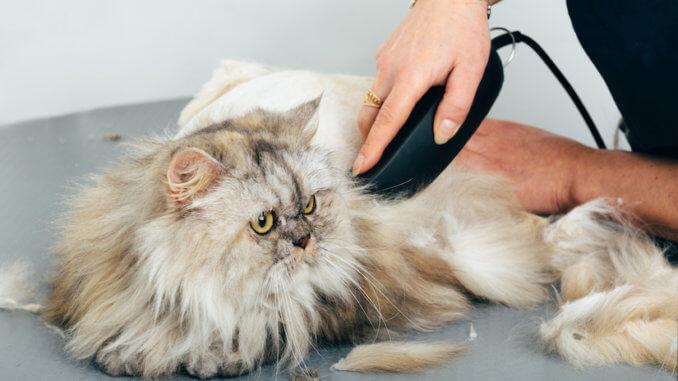 Katze wird mit einer Schermaschine geschoren