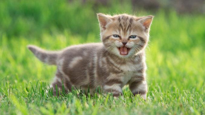 Katzen Kitten miaut im Gras