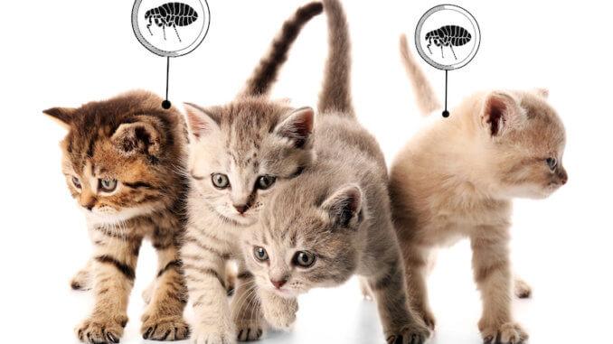 Kleine Kitten mit Flöhen