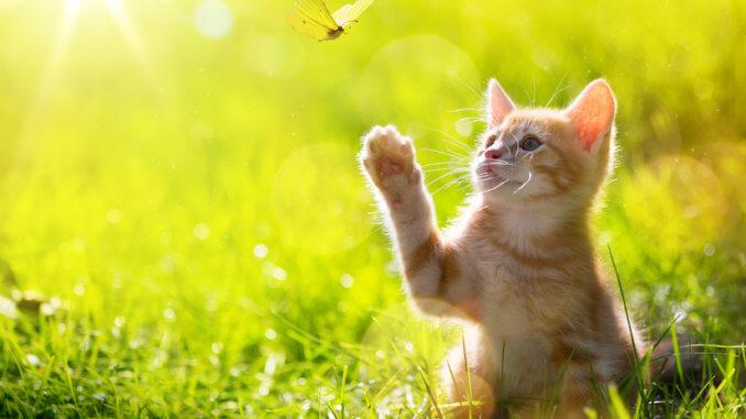 Kleines Kätzchen spielt mit Schmetterling