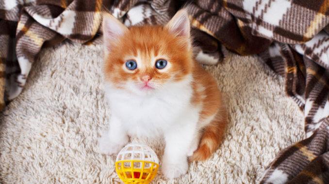 Kleines süßes Kätzchen spielt mit Plastikball