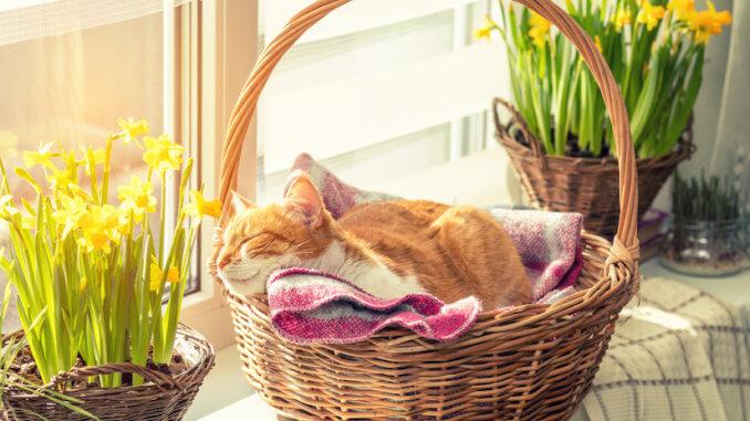 Rote Katze liegt in ihrem Katzenkorb aus Weide auf der Fensterbank