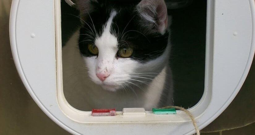 Schwarz weiße Katze guckt durch eine Katzenklappe nach draußen