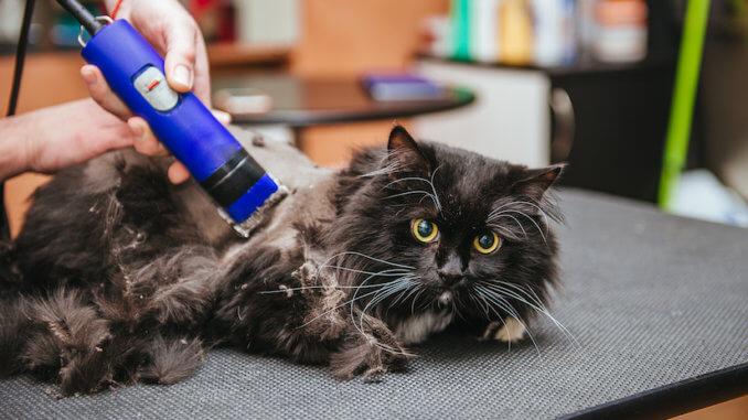 Schwarze Katze beim Katzenfriseur mit einer Schermaschine