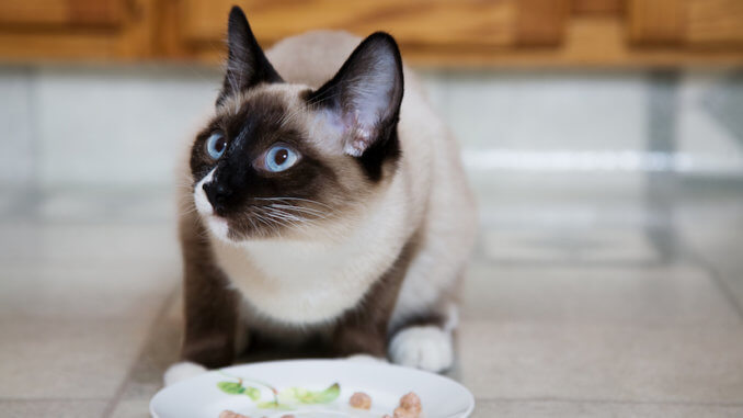 Siamkatze beim fressen von Nassfutter