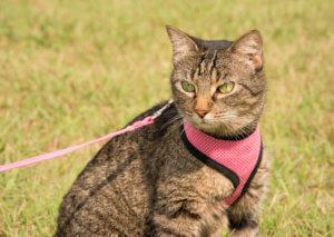 Tabby Katze an der Leine mit einem Katzengeschirr