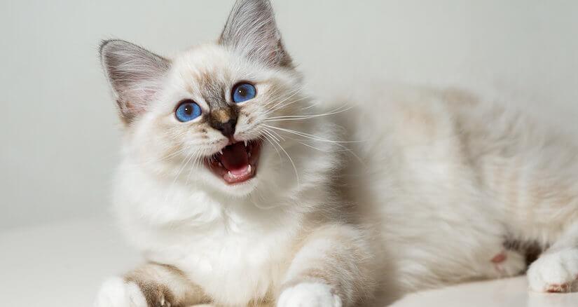 Weiße Burma Katze