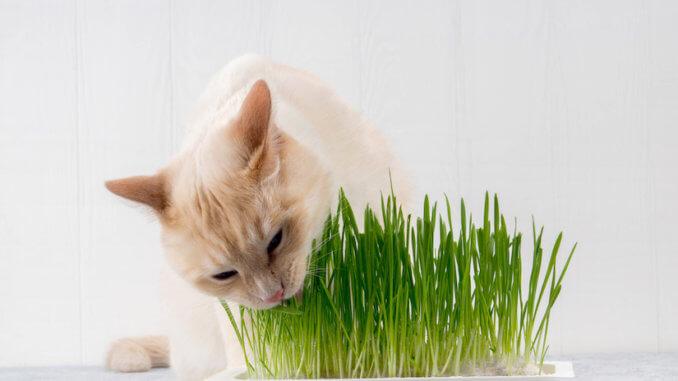 Weiße Katze frisst Katzengras